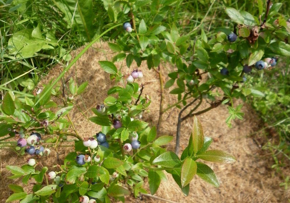 Vaccinium angustifolium (Bleuet à feuilles étroites)