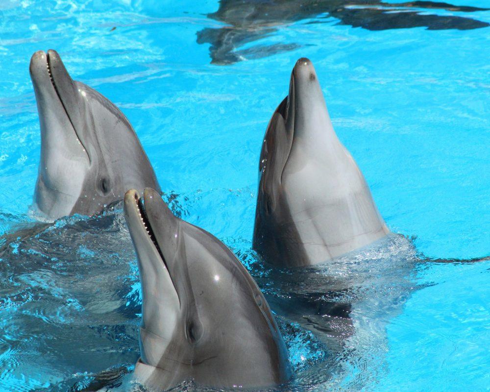 dolphin-3504085_1920